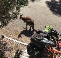 Ruben, il canguro di Coalmine Beach