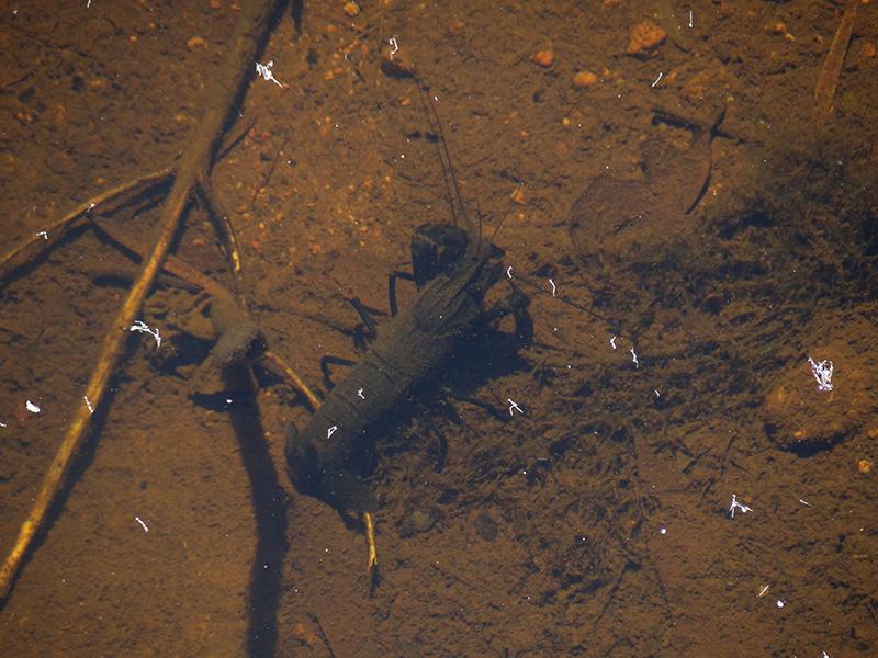 Marroon, gambero di fiume